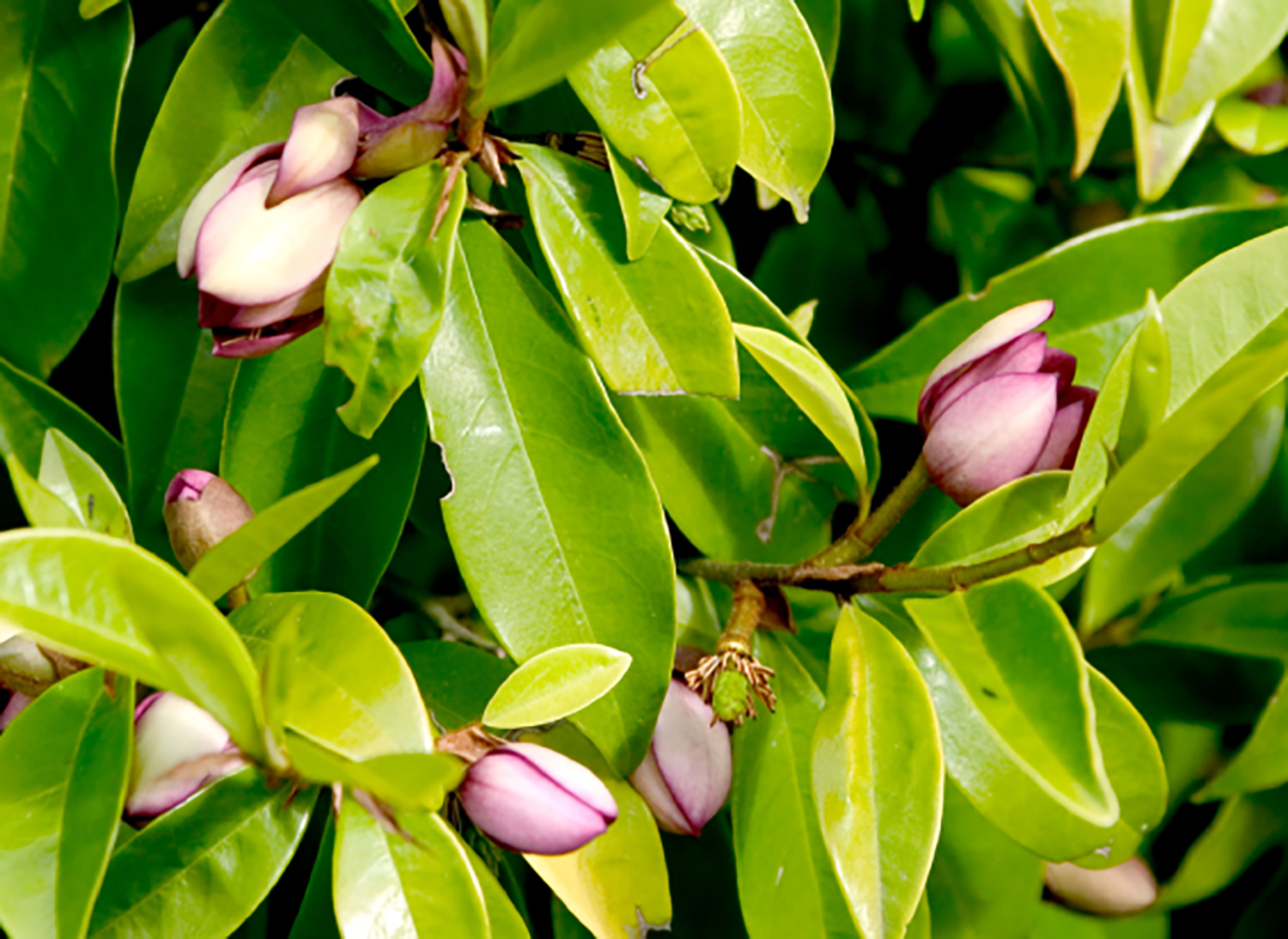 Port-Wine-Magnolia-Hedge-2